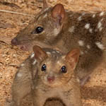 Female northern quoll with one of her offspring